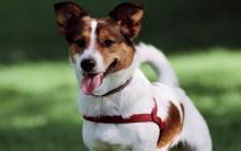 狗狗伸舌头的4个原因