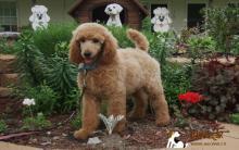 聪明泰迪犬历时一年多找回家 堪称最强大脑