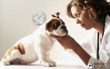 狗狗耳朵搔痒 疾病及护理步骤