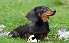 腊肠犬饲养及训练方法