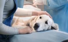 狗狗白血病:症状、原因和治疗