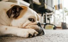 狗狗代谢性贫血的症状、原因和治疗方法