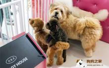 如何训练泰迪犬改正咬主人的手和脚的坏习惯