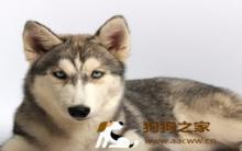 哈士奇和狼的区别 个性特征各不同