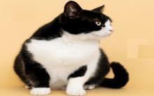 猫咪太爱吃快变一颗球 该怎么办?