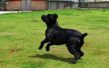 意大利凯因克尔索犬