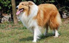 贝林顿梗犬多少钱一只 外观像绵羊
