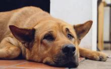 狗狗慢性肾脏病(CKD)引起的贫血症状、原因和治疗方法