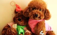 泰迪犬身上有皮屑,很痒是皮肤病吗