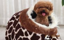 怎样区别纯种健康的泰迪犬