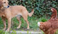 相互介绍鸡和狗的完整指南