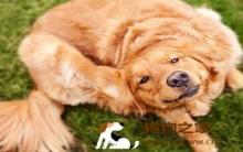 狗皮肤病症状 小心螨虫作祟!