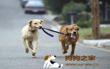 狗外出系牵绳 训练及安全兼顾
