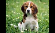 前10种寿命最长的犬种 吉娃娃第几?