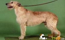 爱尔兰猎狼犬美容多少钱