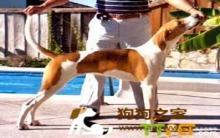 美国猎狐犬美容多少钱