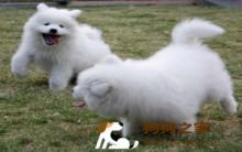 萨摩耶犬美容及护理技巧