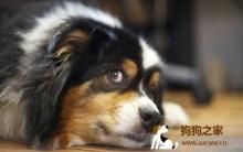 狗狗训练原则及肢体语言判别