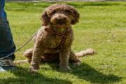狗狗泰泽病的症状、原因和治疗方法