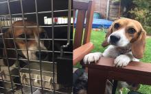 拒绝动物试验 从动物实验室抢救米格鲁
