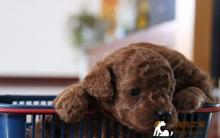影响贵宾犬价格的因素有哪些