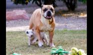"""什么是""""恶霸犬""""品种?为什么称它们为恶霸犬?"""