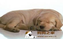 西施犬:狗常见受伤症状与急救处理