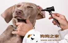 狗拔耳毛:耳垢清洁正确步骤!