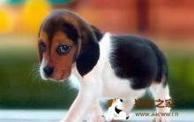 狗狗胆小害怕 达人教你训练狗狗胆量