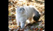长毛猫吃什么猫粮 好猫粮好吗