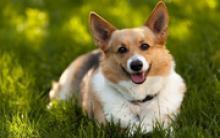 训练养威尔士柯基犬的四大理由 智商高