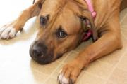 狗狗的利什曼病:症状、原因和治疗