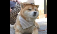 柴犬狗狗适合吃什么狗粮 好狗粮怎么样