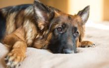 狗狗再生障碍性贫血的症状、原因和治疗方法