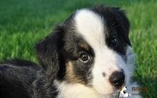 澳大利亚牧羊犬幼犬