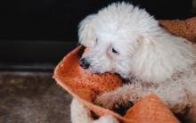 狗狗巨幼红细胞性贫血得症状、原因和治疗方法