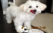 马尔济斯犬饲养及美容护理