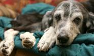 狗狗败血性关节炎的症状、原因和治疗方法