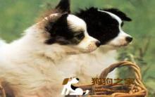 蝴蝶犬训练饲养方法及四大常见疾病