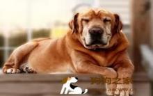 下司犬:狗老化症状多 饲养及护理方法