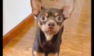 小鹿犬应该吃什么狗粮 好狗粮怎么样