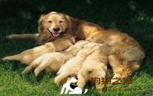 金毛寻回犬:母狗奶水量不足 催乳饮食注意事项