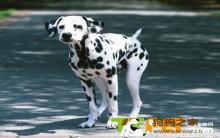 斑点狗怎么美容?