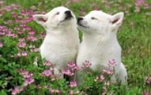 最便宜的蝴蝶犬多少钱一只 和蝴蝶犬串串价格差距大