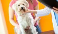 狗狗乳腺肿瘤的症状、原因和治疗