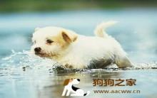 循序渐进让狗狗成为游泳健将