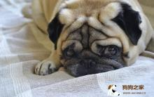 狗狗在哭什么?狗狗哭闹的12 大原因