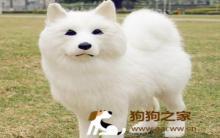 萨摩耶犬好养吗 萨摩耶犬特点及饲养训练