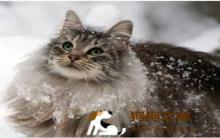 边牧犬:挪威森林猫挑选及饲养要点