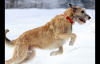 世界上最昂贵的10只狗狗品种